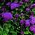 Annuals: Ageratum houstonianum 'Tycoon™ Purple'