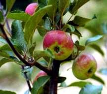 Apple Tree, Standard 'Lady' (Christmas Apple) (1600)