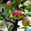 Apples_malus_domestica_api_rose-1.thumb