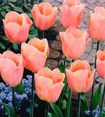 Tulips_tulipa_apricot_beauty-5.full
