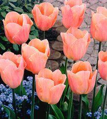 Tulip, Single Early 'Apricot Beauty'