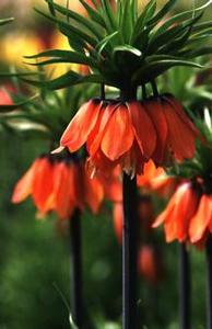 Crown Imperial, 'Premier'