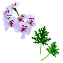 Scented Geranium, Blandfordiana