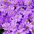 Annuals_pericallis_cruenta_venezia_tm_lavender-1.small