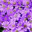Annuals_pericallis_cruenta_venezia_tm_lavender-1.thumb
