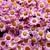Annuals_pericallis_cruenta_venezia_tm_pink_with_ring-1.small