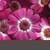 Annuals_pericallis_cruenta_venezia_tm_rose_with_ring-1.small