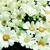 Annuals_pericallis_cruenta_venezia_tm_white-1.small