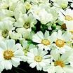 Annuals_pericallis_cruenta_venezia_tm_white-1.thumb