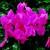 Cyclamen_cyclamen_persicum_concerto_tm_bright_rose-1.small