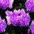 Cyclamen_cyclamen_persicum_concerto_tm_lavender-1.small