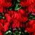 Cyclamen_cyclamen_persicum_concerto_tm_red-1.small