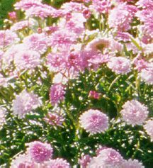 Daisies_argyranthemum_summer_melody-1.full