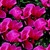 Cyclamen_cyclamen_persicum_concerto_tm_rose-1.small