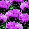 Cyclamen_cyclamen_persicum_concerto_tm_rose_pink-1.thumb