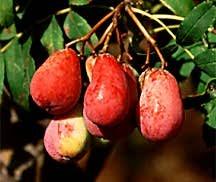 Service Tree, Pear Form