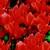 Cyclamen_cyclamen_persicum_concerto_tm_salmon_red-1.small