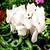 Cyclamen_cyclamen_persicum_concerto_tm_white-1.small
