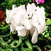 Cyclamen_cyclamen_persicum_concerto_tm_white-1.thumb