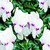 Cyclamen_cyclamen_persicum_concerto_tm_white_with_eye-1.small