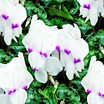 Cyclamen_cyclamen_persicum_concerto_tm_white_with_eye-1.thumb