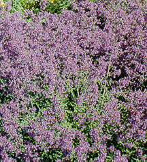 Catmint, 'Select Blue'