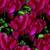 Cyclamen_cyclamen_persicum_concerto_tm_wine_red-1.small
