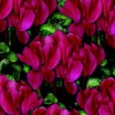 Cyclamen_cyclamen_persicum_concerto_tm_wine_red-1.thumb