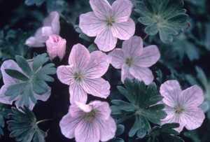 Grayleaf Cranesbill, 'Apple Blossom'