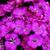 Dianthus_dianthus_barbatus_barbarini_r_lilac-1.small