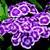 Dianthus_dianthus_barbatus_barbarini_r_purple_picotee-1.small