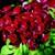 Dianthus_dianthus_barbatus_barbarini_r_red-1.small