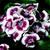 Dianthus_dianthus_barbatus_barbarini_r_red_picotee-1.small