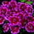 Dianthus: Dianthus barbatus 'Barbarini® Red/Rose Bicolor'