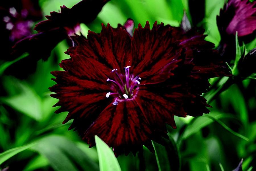Dianthus_dianthus_chinensis_x_barbatus_elation_tm_crimson-1.full