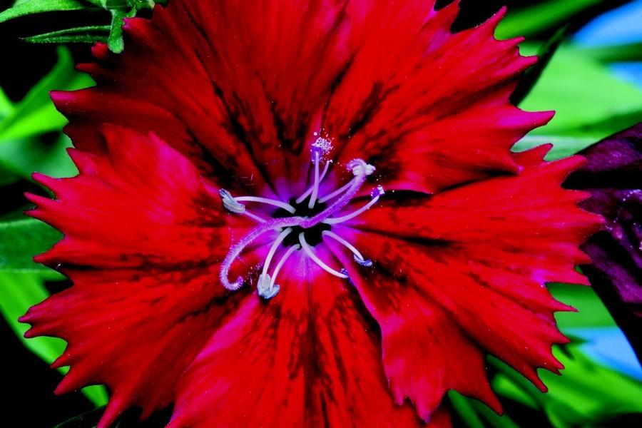 Dianthus_dianthus_chinensis_x_barbatus_elation_tm_red-1.full