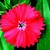 Dianthus_dianthus_chinensis_x_barbatus_elation_tm_scarlet-1.small