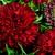 Annuals: Gaillardia pulchella var. picta 'Plume™ Red'