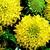 Annuals: Gaillardia pulchella var. picta 'Plume™ Yellow'
