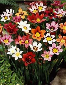 Bulbs_sparaxis_tricolor-1.full
