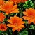 Gazanias: Gazania Rigens, 'Gazoo™ Clear Orange'