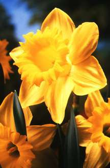 Daffodils_and_narcissus_narcissus_golden_harvest-1.full