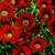 Gazanias: Gazania Rigens, 'Gazoo™ Red With Ring'