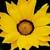 Gazanias: Gazania Rigens, 'Gazoo™ Yellow With Ring'