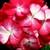Geraniums: Pelargonium Hortorum, 'Pinto™ Bicolor'