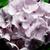Geraniums: Pelargonium Hortorum, 'Pinto™ Blush'