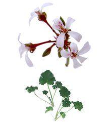 Scented Geranium, Old Spice