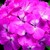 Geraniums: Pelargonium Hortorum, 'Pinto™ Pink'