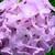 Geraniums: Pelargonium Hortorum, 'Pinto™ Quicksilver'