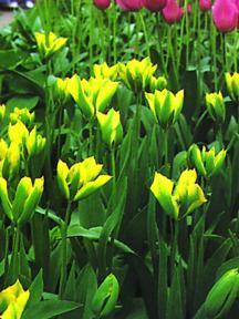 Tulips_tulipa_hummingbird-1.full